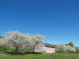 Blossom, Barn & Blue Sky (from May 2008) | by farlane