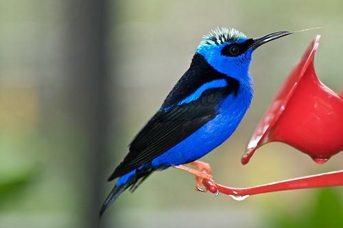 Blue Black Hummingbird Flickr Photo Sharing