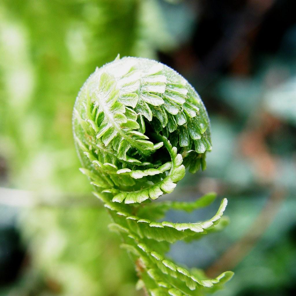 Crosse fiddlehead fern dans mon jardin in my garden for Mon jardin 3d