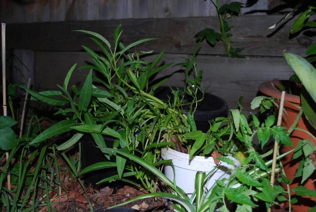 Kangkong Growing From A Bucket I Used To Grow Kangkong