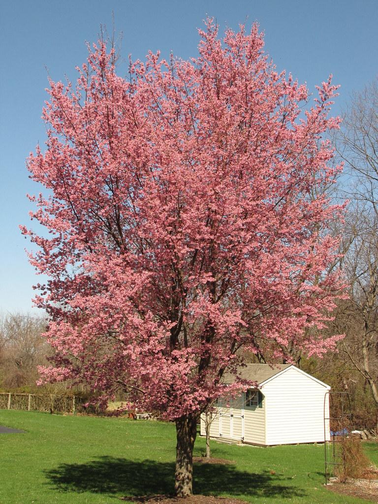 Okame Cherry Tree | Th...