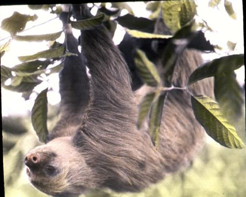 Two Toed Sloth In A Tree Two Toed Sloth Up Close In A