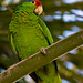 San Diego Red-Crowned Parrot
