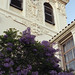 Blooming jacarandas at St Joseph School, Alameda
