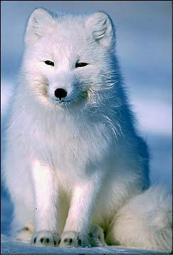 Arctic Fox Foxes Save The Fox Cute Arctic Fox Alopex