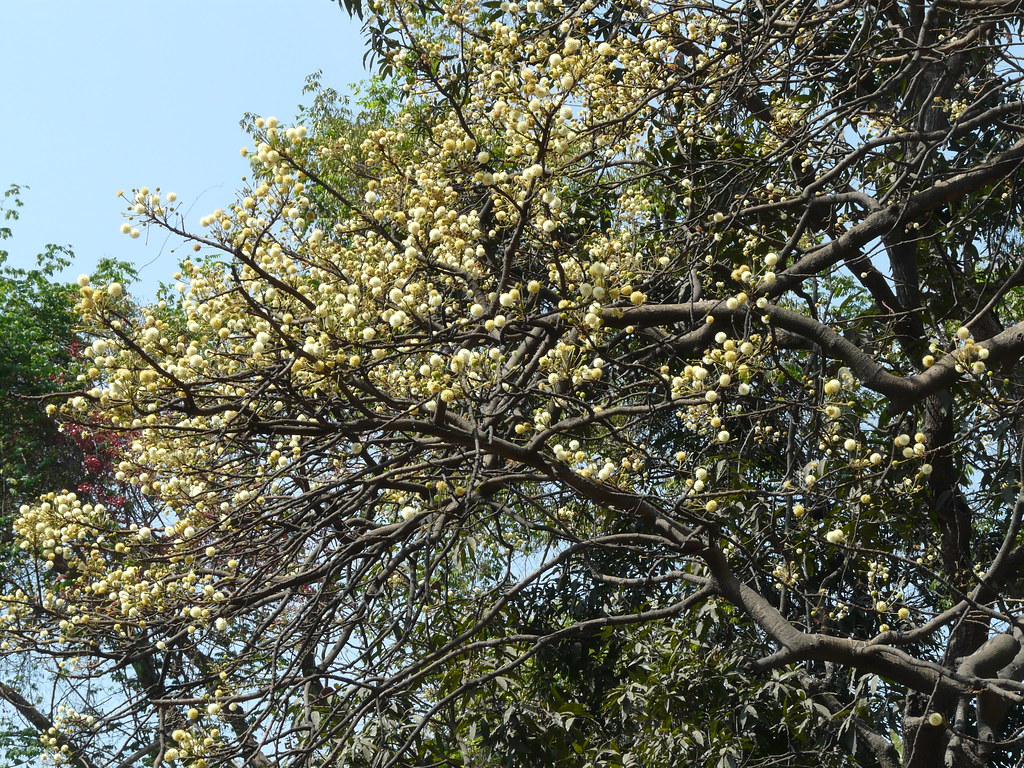 Irul Malayalam ഇരുള് Fabaceae Pea Or Legume Family