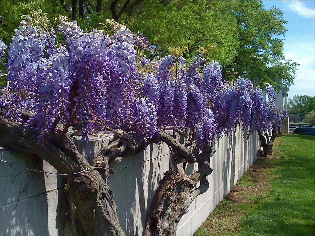 Nmah Wisteria Perfuming The Air Gorgeous Old Wisteria