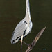 Grey Heron (Ardea cinerea) on a Wooden Post in Water