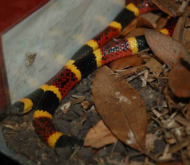 Eastern Coral Snake | This is the venomous one. Remember ...