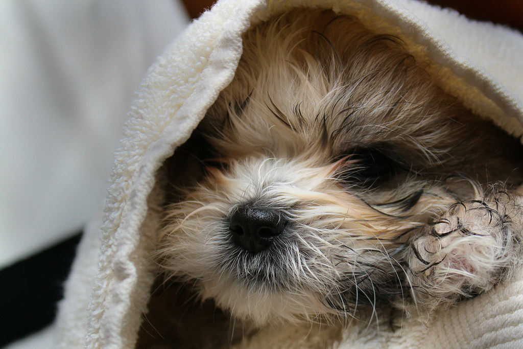 Image Result For Maltese And Yorkie