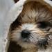 Maltese-Shihtzu puppy after first bath