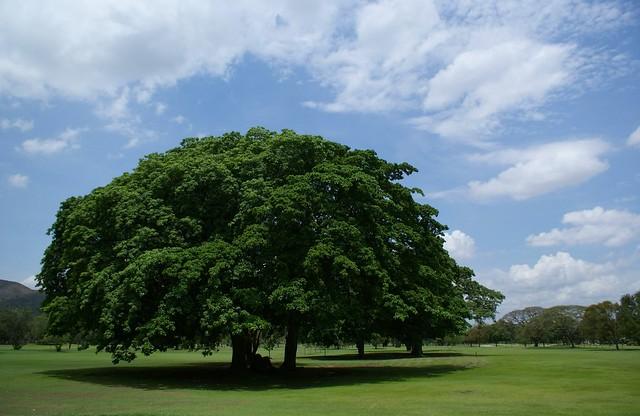 Bajo la sombra de las nubes y del arbol roger guzman for Arboles de crecimiento rapido para sombra