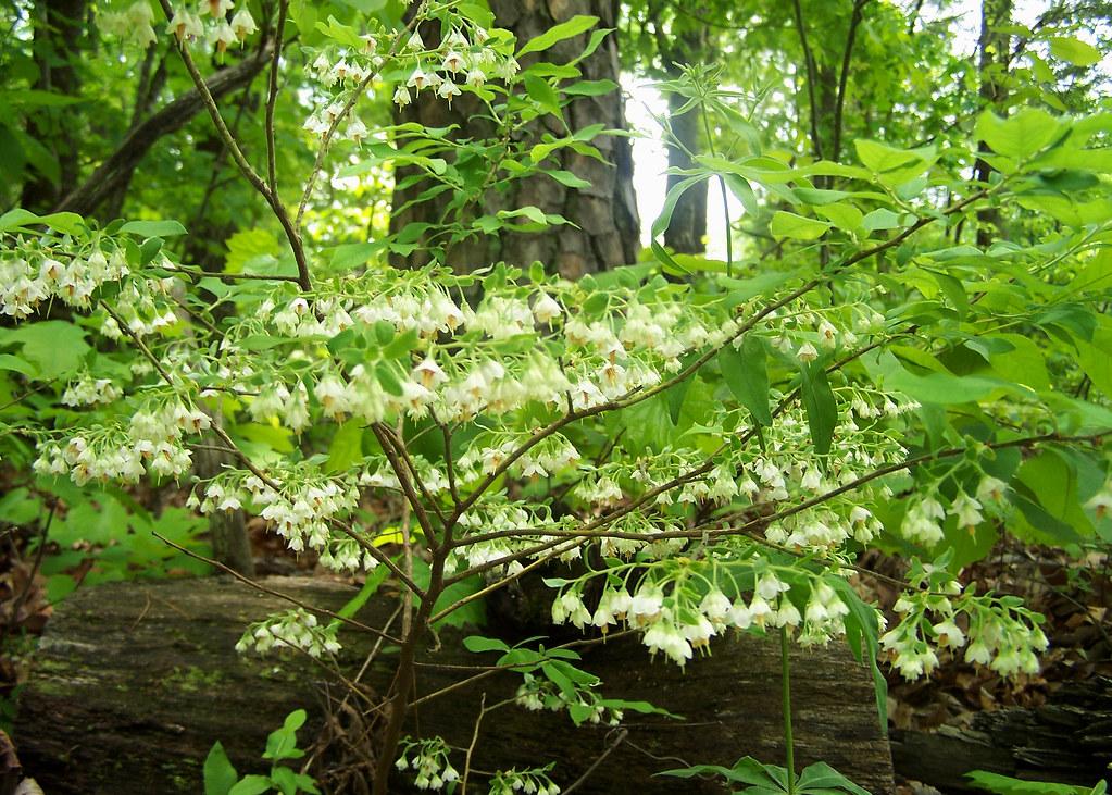 Ericaceae Vaccinium Stamineum Deerberry Squaw Huckleb