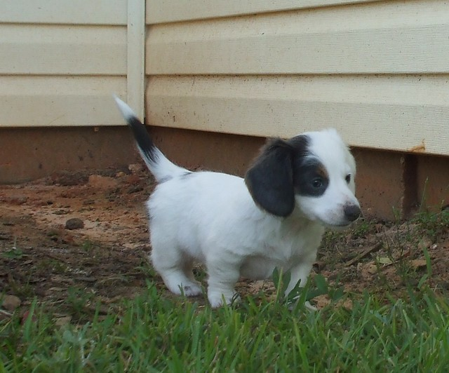 pup#3 extreme piebald long hair dachshund puppy blue & tan   Flickr ...