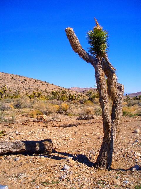 Waving Cactus Las Vegas 25 Miles West Of Las Vegas Flickr