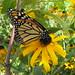 monarch on black eyed susan