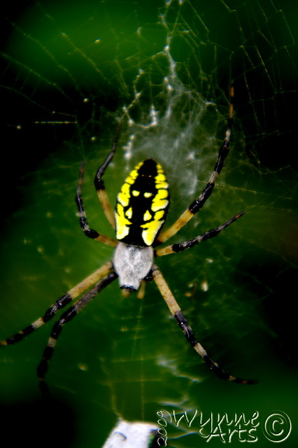 Yellow Garden Spider | Nice and bright in the woods and ...