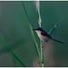 Ashy Wren Warbler