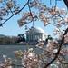 Cherry Tree Blossoms & Jefferson Memorial