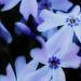 spring beautys