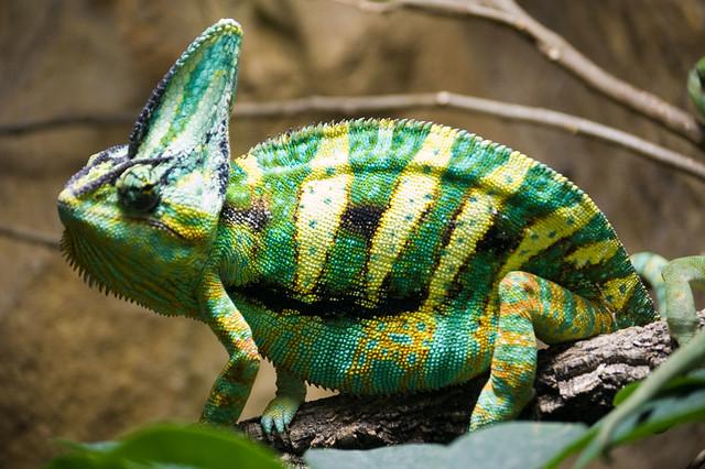 Male Yemen Chameleon  ...