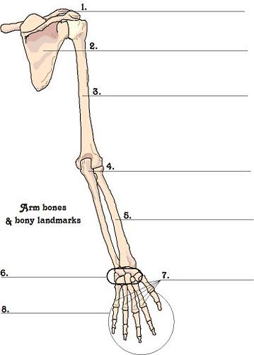 Arm Bones Unlabeled