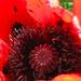Aging Red Poppy Center