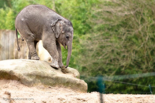 About weight of an asian elephant