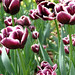 Tulips in the Annual Border, April 2009