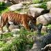 Sumatra Tiger - Sumatran Tiger