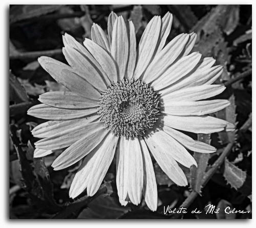 Flores bonitas en blanco y negro imagui for Imagenes bonitas en blanco y negro