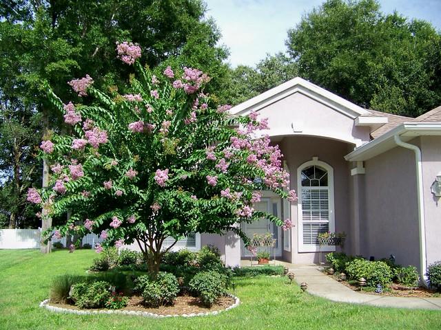 Crepe Myrtle Tree in my Front Yard | Isn't it beautiful ...
