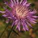 Flor Silvestre ~ Wild Flower ~ [Explored]