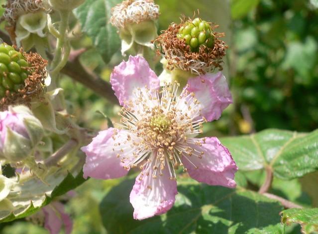 Bramble Flower Rubus Ulmifolius Bramble Refers To