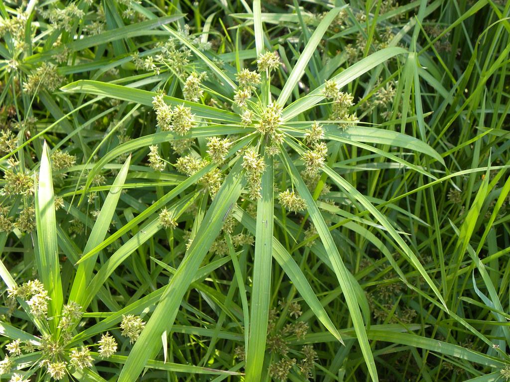 Papyrus Blooms Close Up Papyrus Blooms At Yarkon