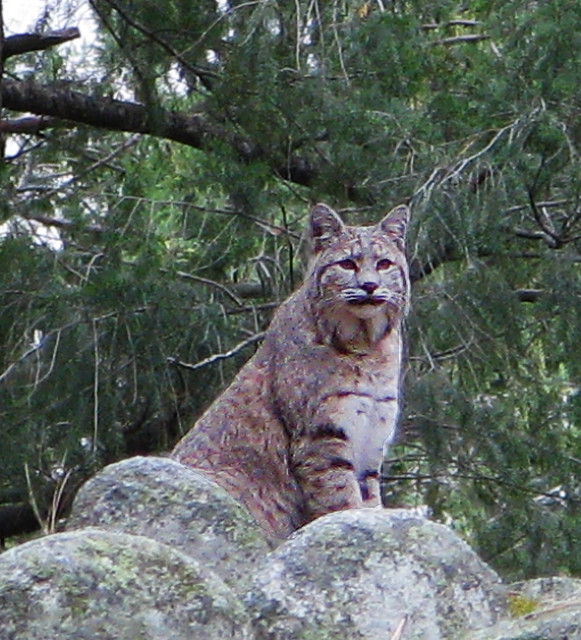 Yosemite Bobcat  Rennett Stowe  Flickr