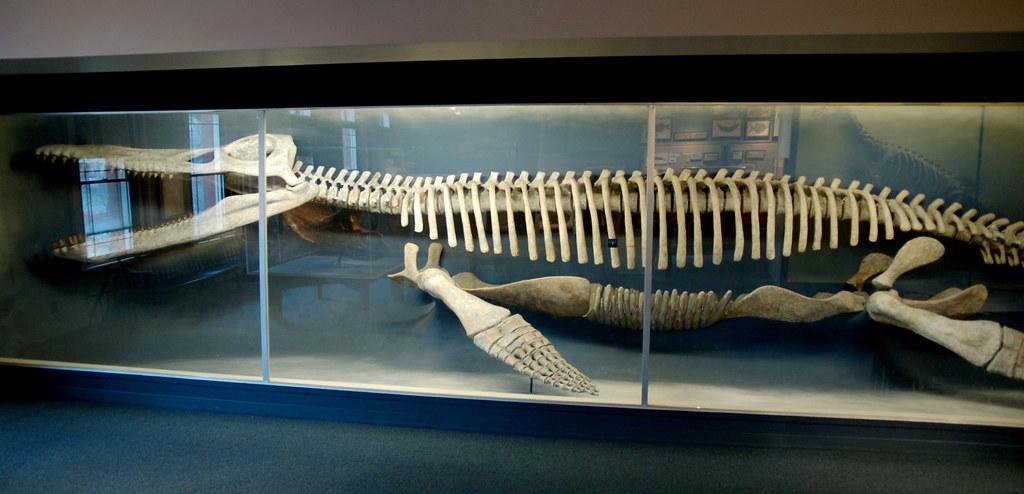 Kronosaurus Skeleton | Kronosaurus was a pliosaur and the ...