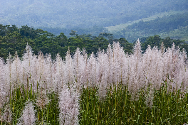 Sugarcane Flowers In Java For The First Time I Saw The