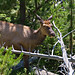 Yellowstone Park Elk