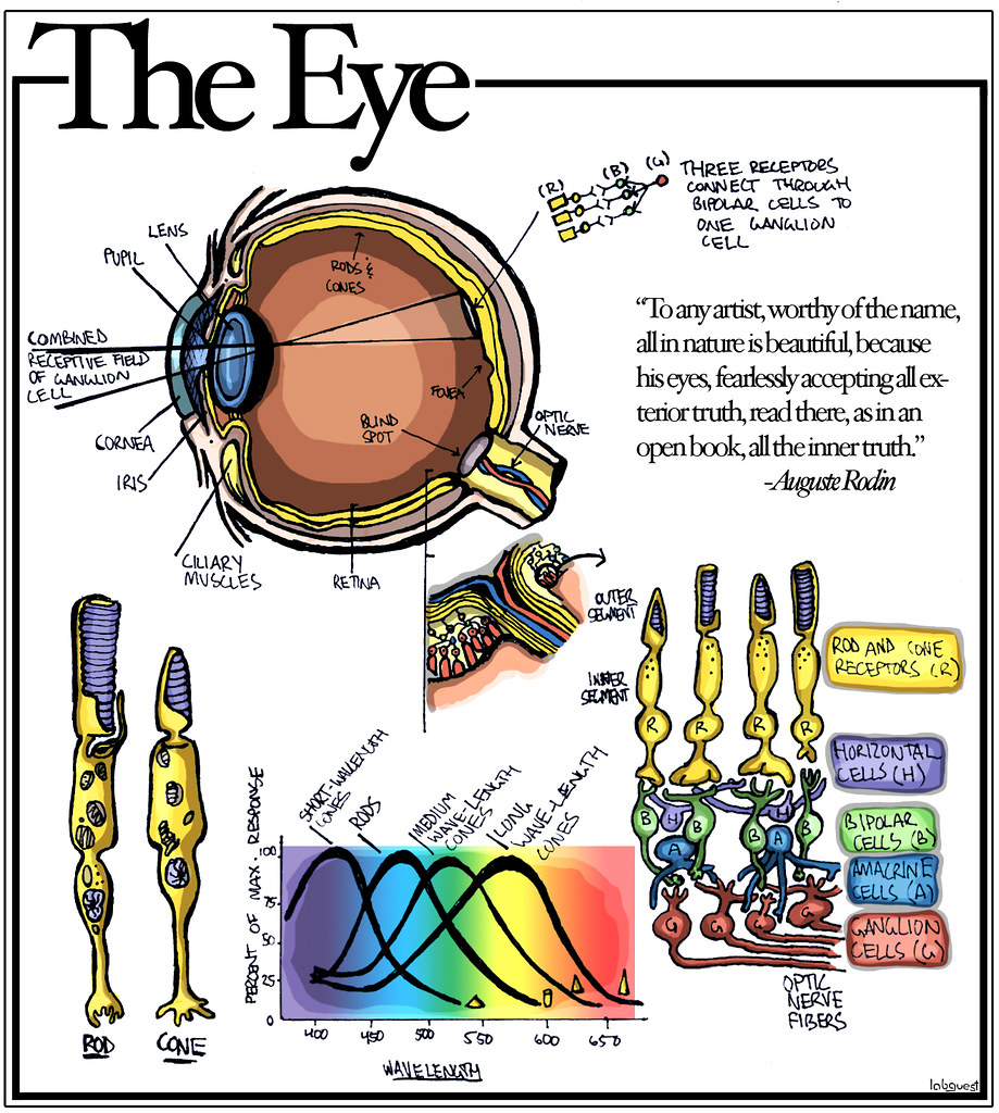 the eye | diagram of the eye, rods cones, different types ... dog eye diagram cones #13