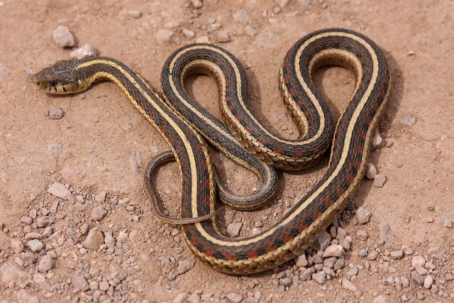 Common Garter Snake New Mexico Subspecies Flickr