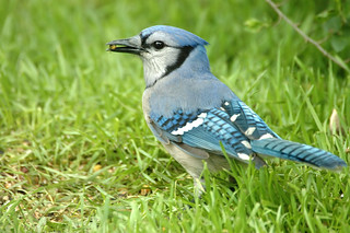 Blue Jay | by telliott