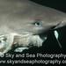 Feeding Sixgill Shark, Close-up