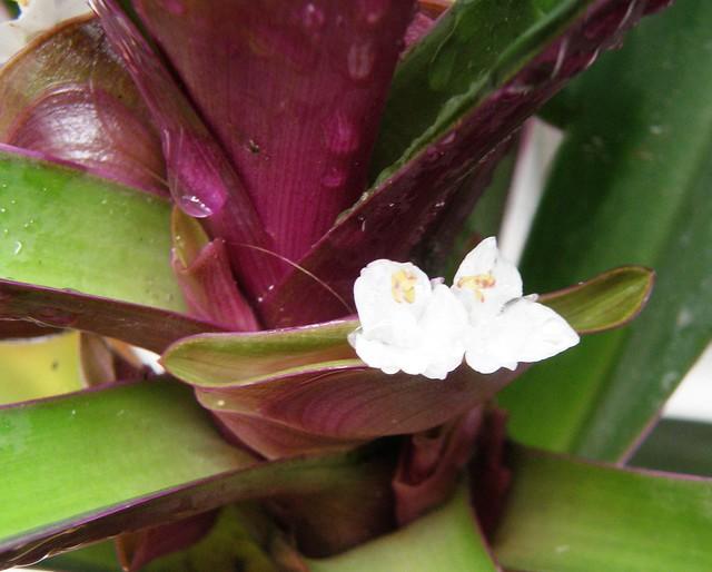 florcitas blancas de Tradescantia spathacea