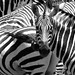 Zebra crossing - Zebrastreifen