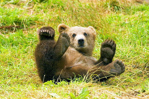 Brown Bear having fun, rolling in the grass on his back with paws up | by Beverly & Pack