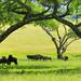 Blue Wildebeest under the Acacia Arch