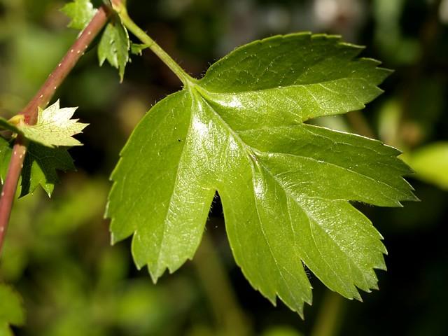 Crataegus monogyna | Class: Magnoliopsida. Subclass ...