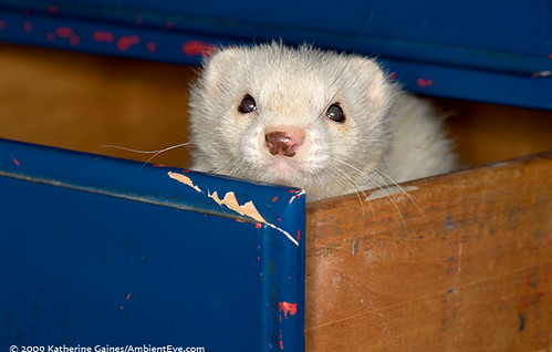 Black Eyed White Ferret