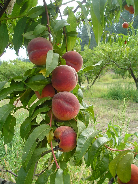 Peach Tree Food Delivery